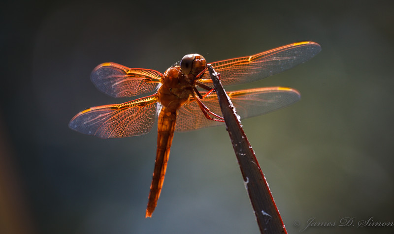 Orange-Red Dragonflies-6252