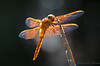 Orange-Red Dragonflies-6254