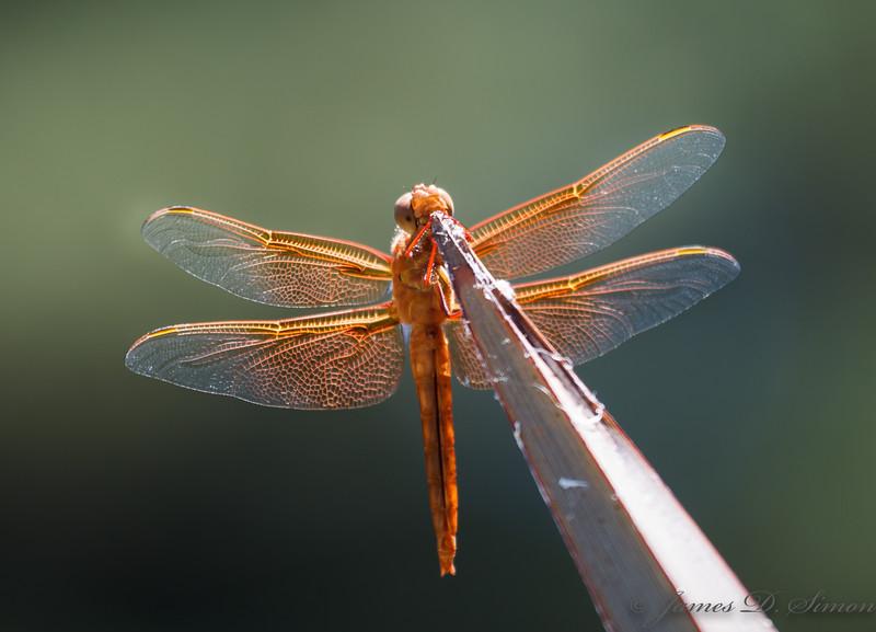 Orange-Red Dragonflies-6307