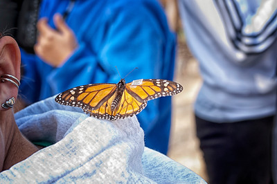 Monarch Tagging3