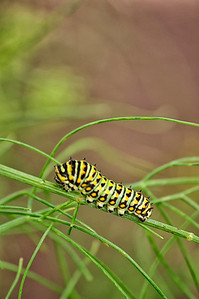 Monarch Caterpiller3