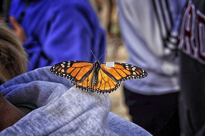 Monarch Tagging4