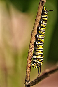 Monarch Caterpiller2