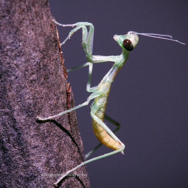 Newly Hatched California Mantis, stagmomantis californica,