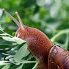 Roscoe the Snail