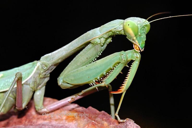 California Mantis,stagmomantis californica, mature female
