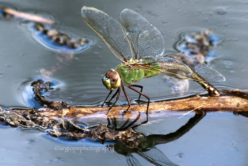 Ovipositing Dragonfly. Common Green Darner, anax junius