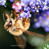 Honeybee on California Lilac (Ceanothus, sp.)