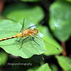 White-faced Meadowhawk (Sympetrum obtrusum), photographed at the Volo Bog in northern Illinois.