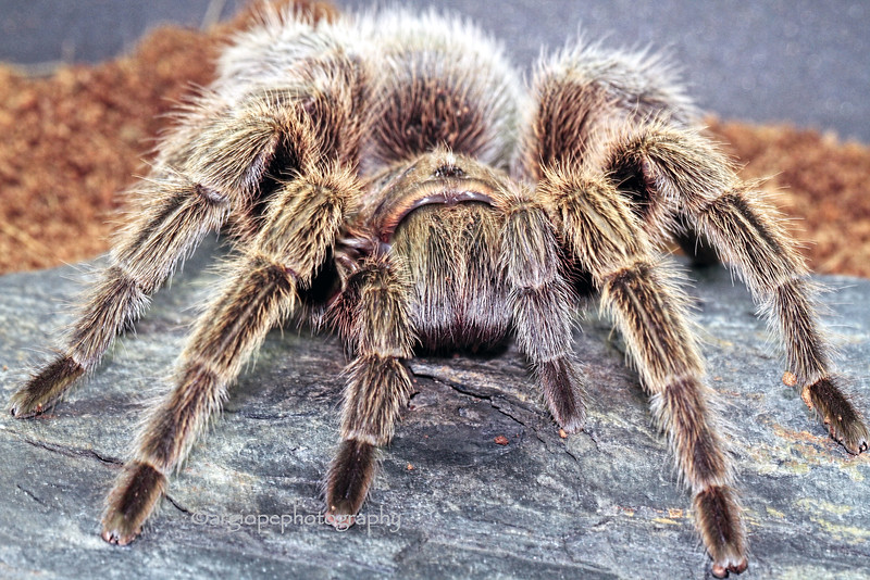 Mildred, mature, female Chilean Rose Tarantula, grammostola rosea