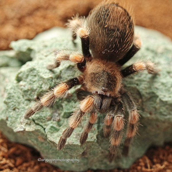 Sally, a Mexican Red-kneed Tarantula (Brachypelma smithi).  Two years of age.
