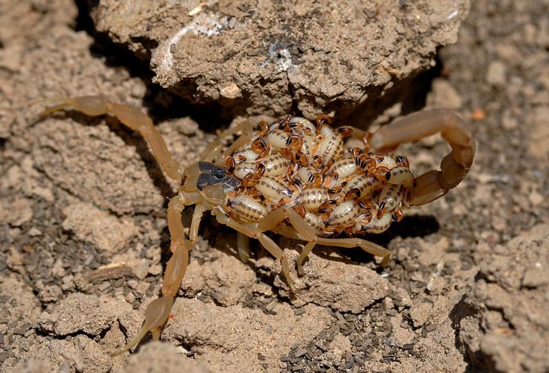 Striped Bark Scorpion (and lotsa babies) - Centruroides vittatus