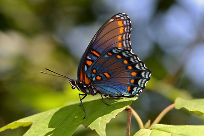 Red-spotted Purple (Basilarchia astyanax)