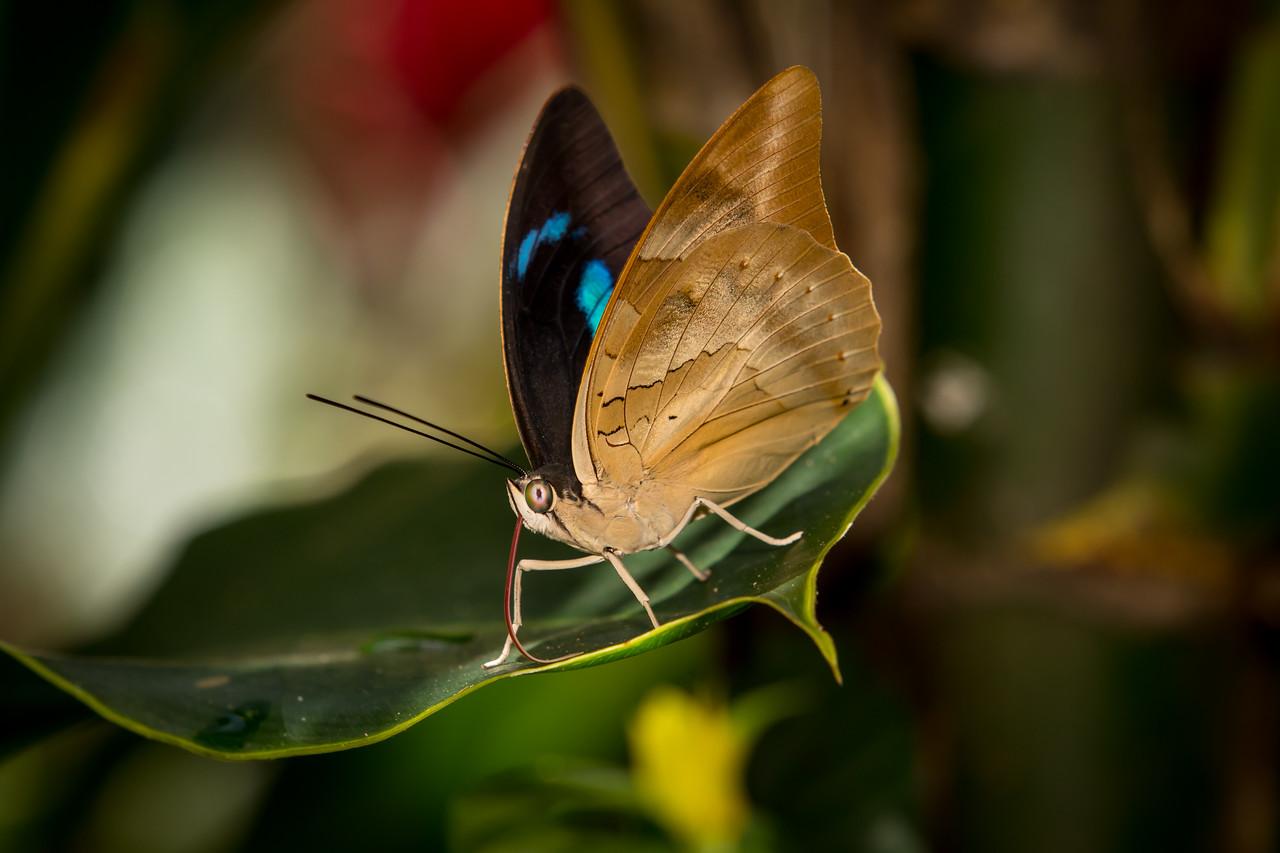 Butterfly - Pureto Maldonado, Peru
