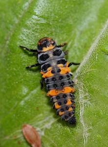 Convergent Lady Beetle / Ladybug Larvae - Hippodamia convergens
