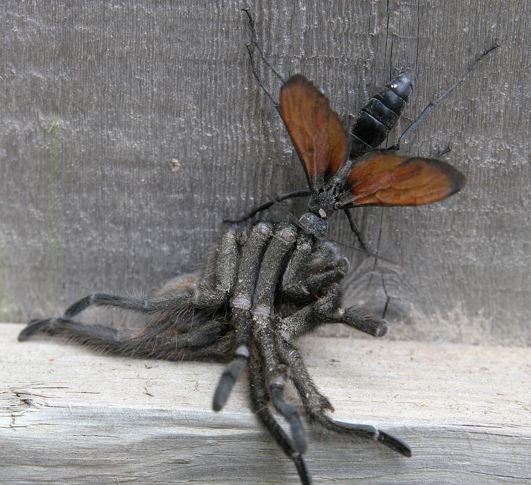 Tarantula Hawk Vs. a Tarantula