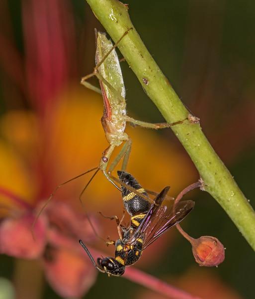Assassin Bug Vs. Wasp......