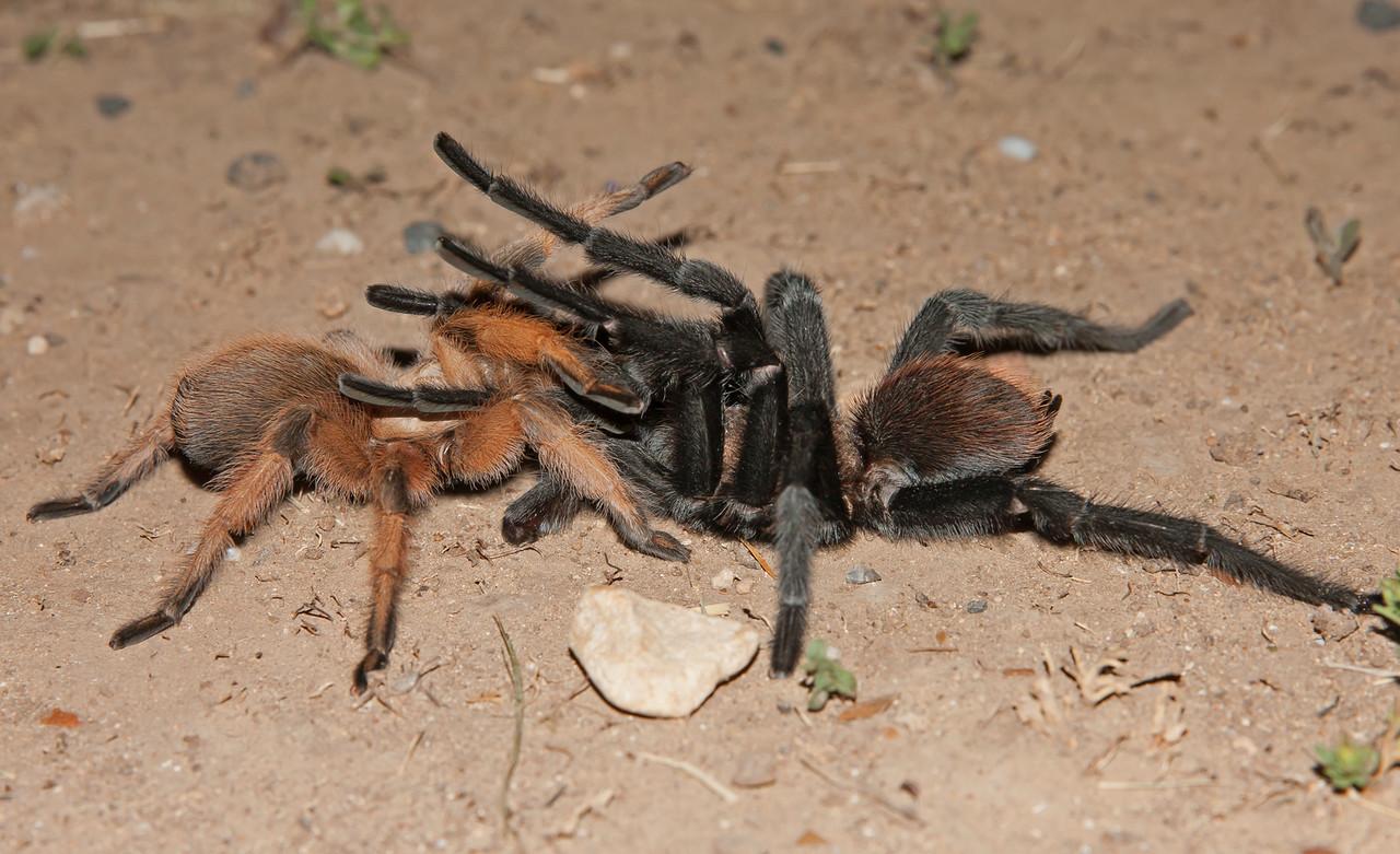 Breeding Tarantula's (in my yard)