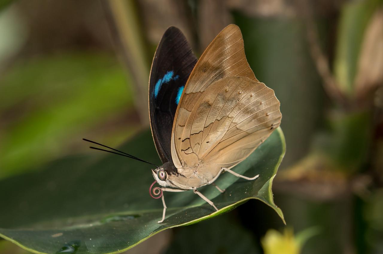 Butterfly - Puerto Maldonado, Peru
