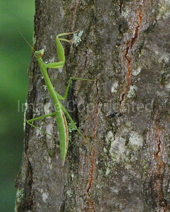 Praying mantis - 3/12/10