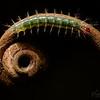 20190302-_85K2174-Caterpillar-Macro