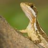 Female Basalisk Lizard