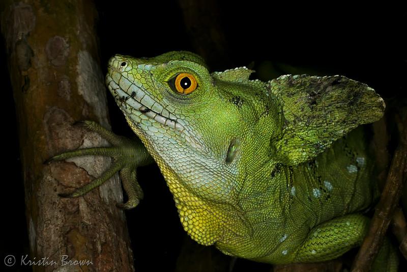 IMG_4457-Green-Basilisk-Lizard