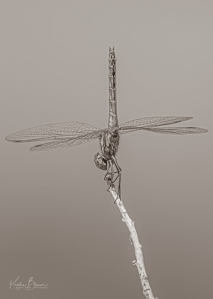 """The Ballerina""  Veriegated Meadowhawk"