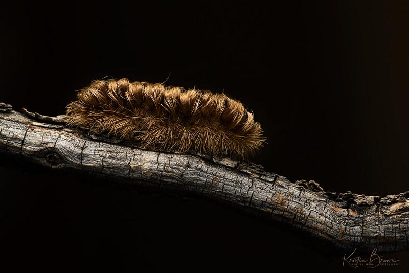 Clio Moth Caterpillar