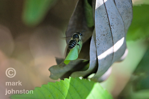 A leaf-cutter bee carries a trimmed-off leaf piece to its nest.