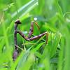 Preying Mantis