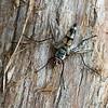 Zelia Fly (Tachinidae: Zelia sp.)