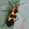 False Milkweed Bug (Lygaeus turcicus)