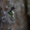 Spined Micrathena (Micrathena gracilis)