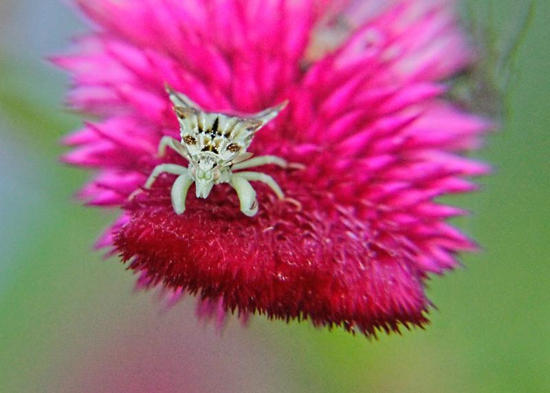 Ambush Bug (Phymata americana)