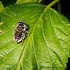 Leafcutter Bee (Megachile sp.)