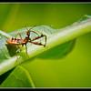 Sinea nymph (Spiny Assasin Bug)