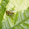 Condylostylid Long-legged Fly