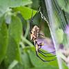 Golden Orb Weaver with bee