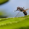 Stilt-Legged Fly (Taeniaptera trivittata)