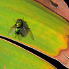 Green Bottle Fly (Lucilia [Phaenicia] sericata)