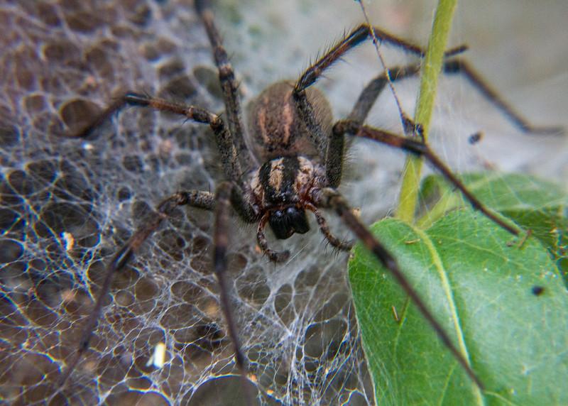 Funnel Weave Spider (Agelenopsis species)