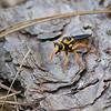 Wasp-mimic Robberfly (Laphria saffrona)