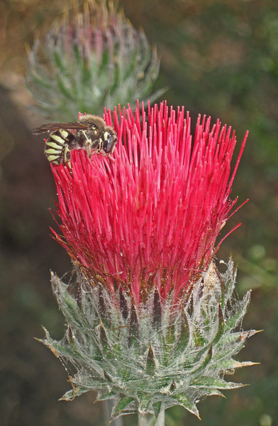 May 24, 2009.  Venus Thistle with bee at Pinnacles National Monument, California.