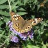 September 3, 2009 - Buckeye butterfly, North Mountain Park, Ashland, Oregon