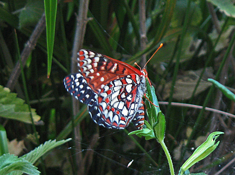 May 24, 2009 - Checkerspot Butterfly at Pinnacles National Monument, CA.