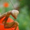 August 28, 2009 - Praying Mantis, Medford, Oregon.