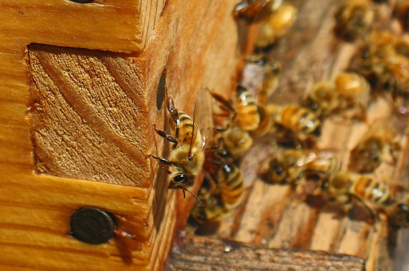 August 25, 2009 - Honey bees at OSU extension, Medford, Oregon.