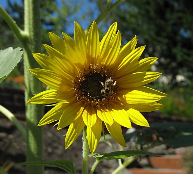 August 17, 2009 - Honeybee on Sunflower.  Medford, Oregon.