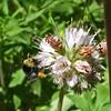 July 5, 2010.  Bumblebee at Pilot Rock, Cascade-Siskiyou NM, BLM, Oregon.
